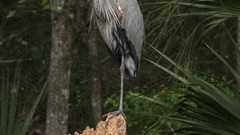 Heron, bird stands on one leg Stock Footage