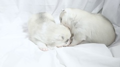 Cute newborn Husky puppies nuzzling each other Stock Footage