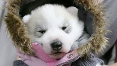 Cute newborn Husky puppy wearing parka Stock Footage