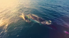 Aerial footage of a family of whales breaching the water to breathe at sunset Stock Footage