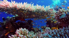 Colorful Fishes with Table Coral and Divers Bubbles Stock Footage