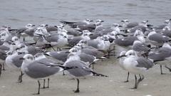 Laughing Gulls, sea birds on the beach at Homosassa, Florida, USA Stock Footage