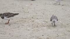 Turnstone bird looks for food on the beach, Florida, USA Stock Footage