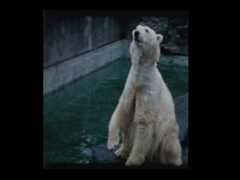 People throw food to Polar bears at the zoo Stock Footage