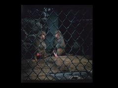 Baby monkey and parents at zoo Stock Footage