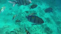 Abudefduf and Zebrasoma veliferum swims near coral Stock Footage