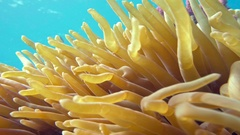 Clown fish in anemone close, Red sea. Egypt Stock Footage