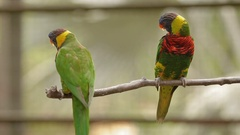 The rainbow lorikeet Trichoglossus moluccanus , colorful species of parrot Stock Footage