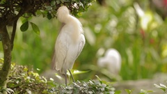 The cattle egret Bubulcus ibis cleaning its feathers. Cosmopolitan species of Stock Footage