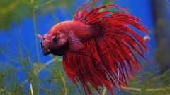 Colourful Thai Fighting fish or as Siamese Fighting fish Betta Splendens Stock Footage