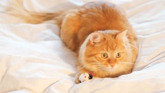 Cute ginger cat lying in bed. Fluffy pet playing with toy mouse. Cozy home Stock Footage