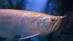 Tropical fish Silver Arowana in blue water of aquarium Stock Footage