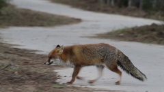 Red fox walks in the woods Stock Footage