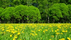 Timelapse clip. Field with yellow dandelions. Sunny summer day Stock Footage