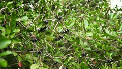 Chokeberry branch in autumn Stock Footage