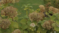 Big-leaved hydrangea (Hydrangea macrophylla Stock Footage