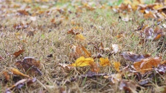Raking oak leaves Stock Footage