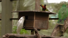 The rainbow lorikeet (Trichoglossus moluccanus) and The Salmon-crested cockatoo Stock Footage