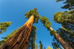 Giant Sequoia redwood trees with blue sky Stock Photos