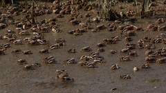 Fiddler Crabs Stock Footage