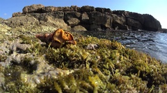 Yellow sea slug on land winding out of the shell, time lapse Stock Footage