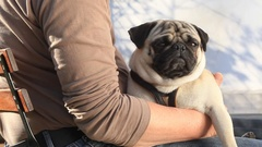 Portrait of cute a pug dog Stock Footage