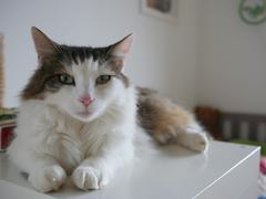 Fluffy cat sitting on table indoor Stock Photos