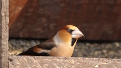 Hawfinch eating seeds Stock Footage