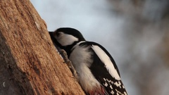 Great Spotted Woodpecker on tree Stock Footage