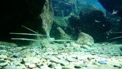 Some Bluespotted cornetfish (Fistularia commersonii) Stock Footage