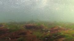 Sea green (Enteromorpha intestinalis) and red algae (Porphira leucostica) in the Stock Footage