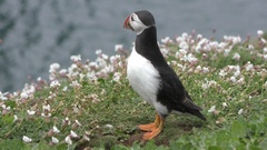 An Atlantic puffin shakes its head, looks up and around Stock Footage