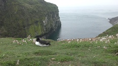 Wide view of an Atlantic puffin which rests with its beak in its feathers Stock Footage