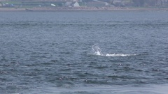 A bottlenose dolphin comes to the surface and spits out a fish Stock Footage