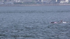 A bottlenose dolphin and its calf are swimming and breaking the surface Stock Footage