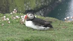 Atlantic puffin lies next to sea campion flowers Stock Footage