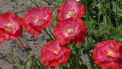 Red, tender, air, life-giving poppy. Decorative poppy on their summer cottage. Stock Footage