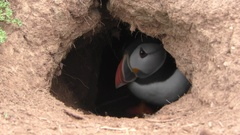 Two Atlantic puffins moving around inside their burrow Stock Footage