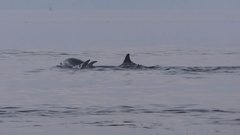Pod of bottlenose dolphins splash tails and throw themselves backwards Stock Footage