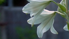 White lily in full juice.Close-up of white lily  on a sunny day Stock Footage