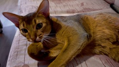 Abyssinian cat washes Stock Footage