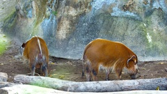Two adult Red River Hog (Bush Pig). UltraHd 4k video Stock Footage