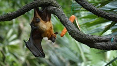 Large Flying Fox Hangs Upside Down at the Zoo Stock Footage