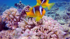 Tropical Clownfish and Sea Anemones Stock Footage