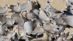 Cape turtle doves at waterhole, Kalahari desert, South Africa Stock Footage