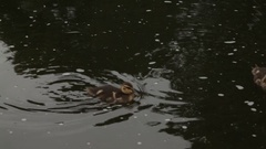 Two small ducks caught food Stock Footage