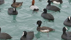 Eurasian Coot Fulica atra swimming in black sea Stock Footage