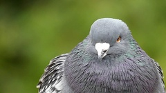 Portrait of the Dove Close up in Slow Motion During Wind. Stock Footage