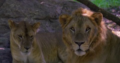A male lion and a lioness relaxing in the shade Stock Footage