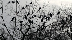 Ravens on the Branches of Trees at Night Stock Footage